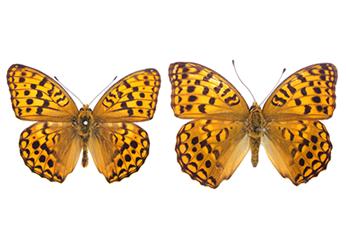 ウラギンヒョウモン|昆虫類|レッドデータブック検索|レッドデータブックまつやま2012