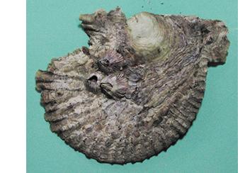 イタボガキ|貝類、淡水産甲殻類...
