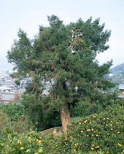 カヤの木 1本